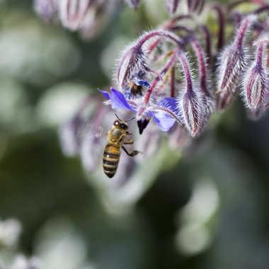 La Bourrache et l'abeille par Jerome Rabille