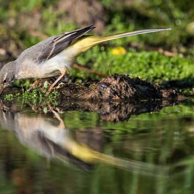 Bergeronnette des ruisseaux par jeromebouet