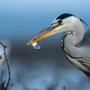 heron par Regis Parrens