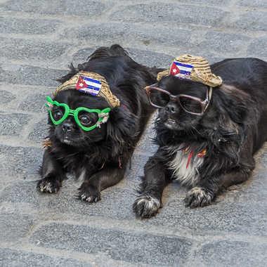 Petits chiens cubains par Basile59