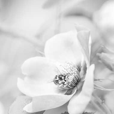 La rose et l'abeille par bobox25
