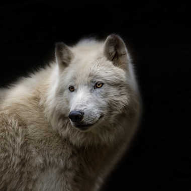 Loup arctique par patrick69220