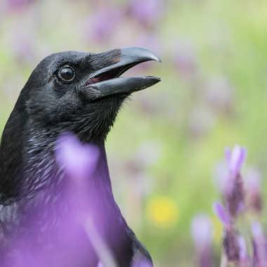 Grand corbeau dans la lavande par jeromebouet