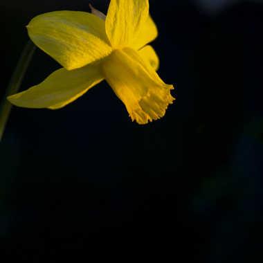 Narcisse au jardin par patrick69220