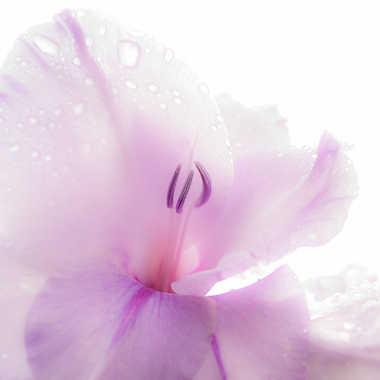 Fleur de glaïeul par Fantine