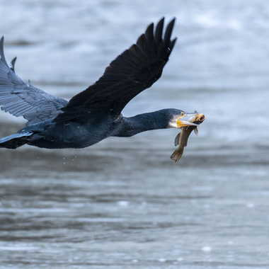 Grand cormoran à la pêche par patrick69220