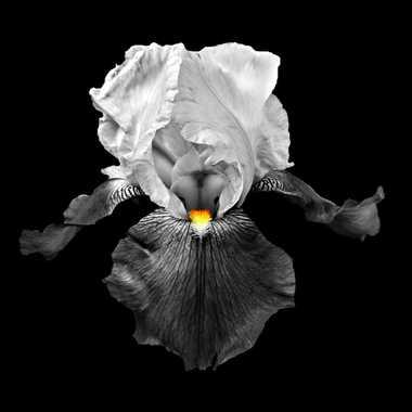 Iris volant désaturé par mamichat