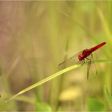 libellule ecarlate par genevieve_3824