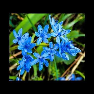 fleurs bleues par brj01