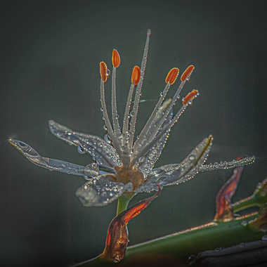 asphodèle par genevieve_3824