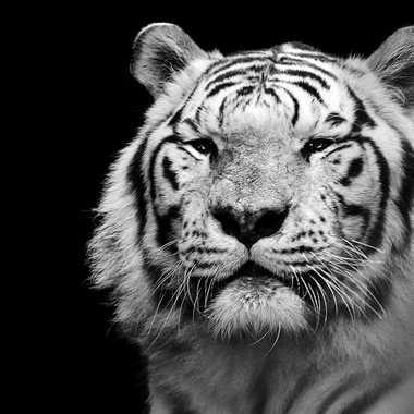 Sa majesté Le Roi par lynx