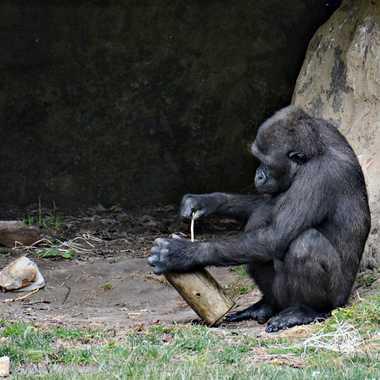 Chimpanzé au travail par mamichat
