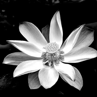 Lotus en noir et blanc par mamichat