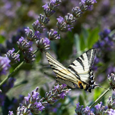 Machaon. par jean-Luc