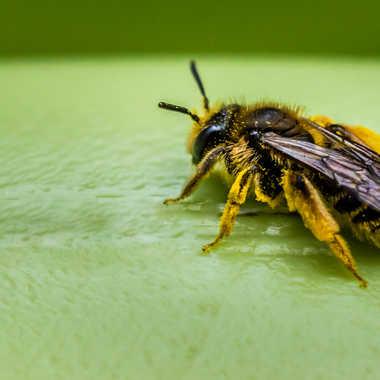 Jeune abeille par Dav.sv