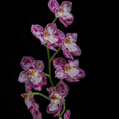 Mini Orchidée par Stéphane Sda