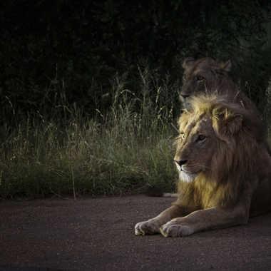 Lions d'Afrique par patrick69220