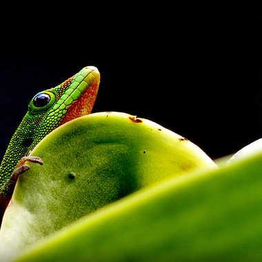 Petit Gecko par Farim