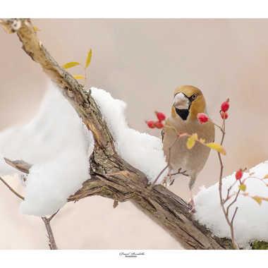 Gros-bec-casse-noyaux dans la neige par daniel13660