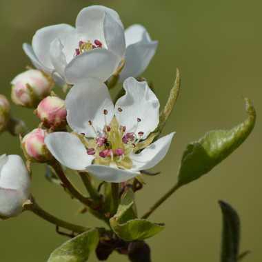 Fleurs de poirier par Solasi76