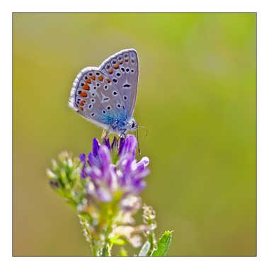 Le p'tit bleu par Isabellefalconnet