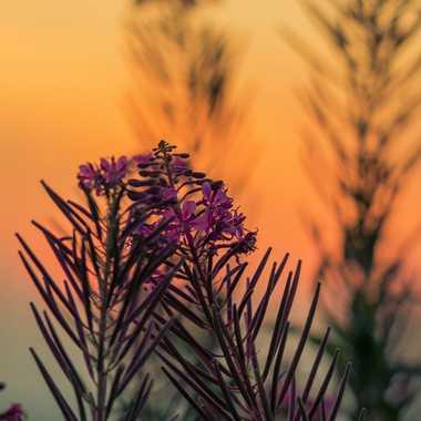 Epilobes au coucher du soleil par brj01