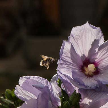 Faux bourdon et hibiscus.. par Micheldechelles