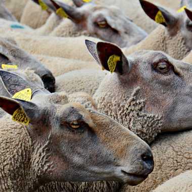 Moutons par mamichat