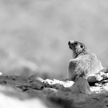 Marmotte en Grande Chartreuse par patrick69220