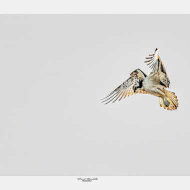 Balbuzard pêcheur par daniel13660