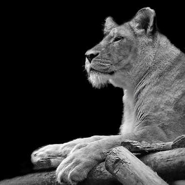 Grosses pattes par lynx