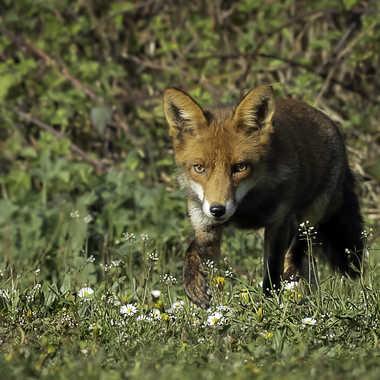 Maitre renard aux aguets par loulou17