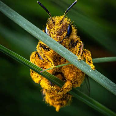 L'ouvrière du pollen par Romain Patron