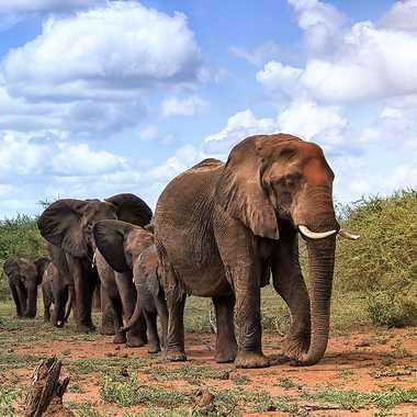 La marche des éléphants en Afrique par patrick69220