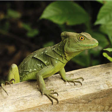 green iguana par genevieve_3824