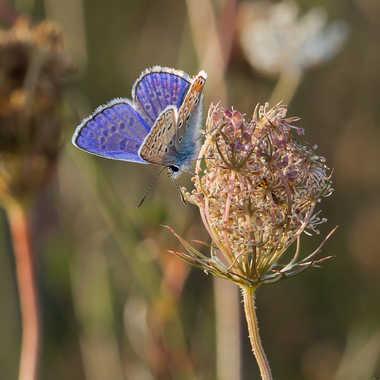 Argus Bleu par jean-Luc