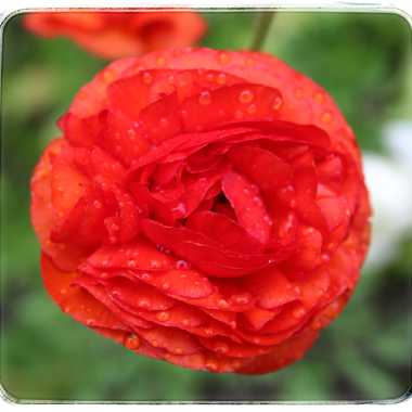Fleur en pleure par Marie1964
