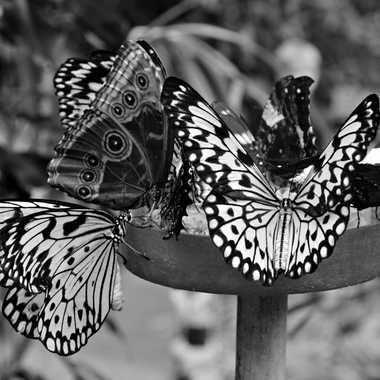 Papillons en deuil par mamichat
