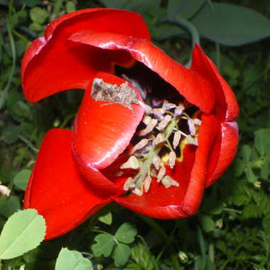 Tulipe visitée.... par Albatros