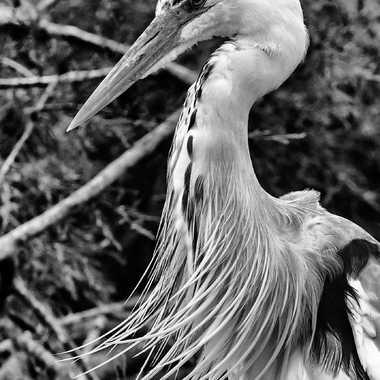 Heron BW par Buissem