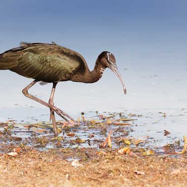 Ibis Falcinelle au lac des Sablons par patrick69220