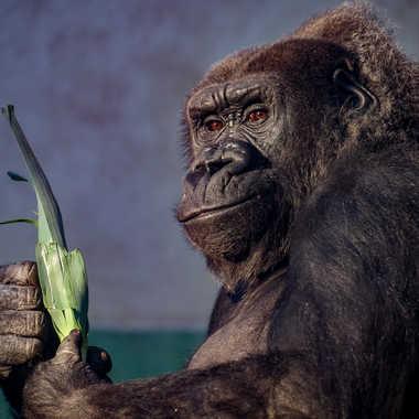 Le gorille par Jeanjean