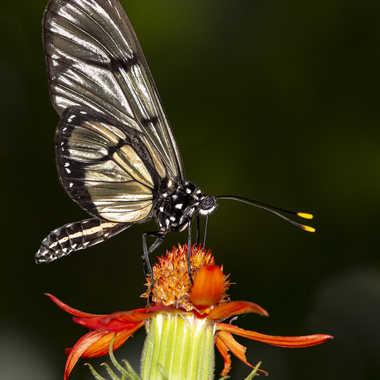 Papillon exotique par Yves B