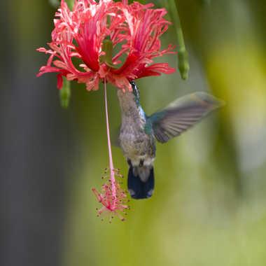 Colibri par Nimo