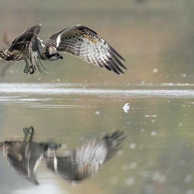 Balbuzard pêcheur par patouphoto