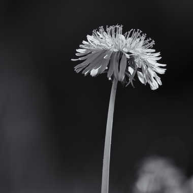 Fleur de pissenlit par patrick69220