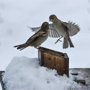 Moineaux aux sports d'hiver par patrick69220