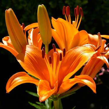 Fleur de Printemps par Buissem