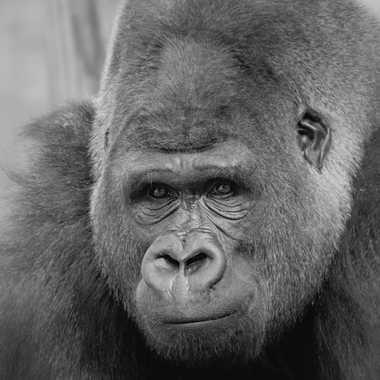 Gorille de plaine par patrick69220