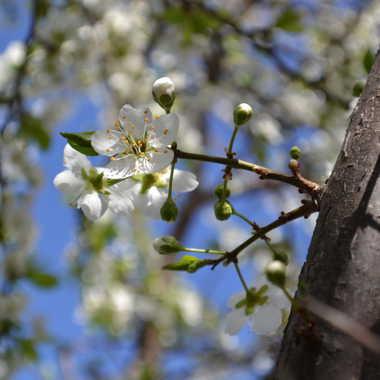 Fleur de prunier... par Albatros
